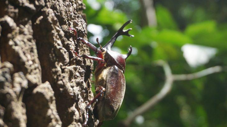 沖縄でクワガタとカブトムシが採集できる時期と場所は?